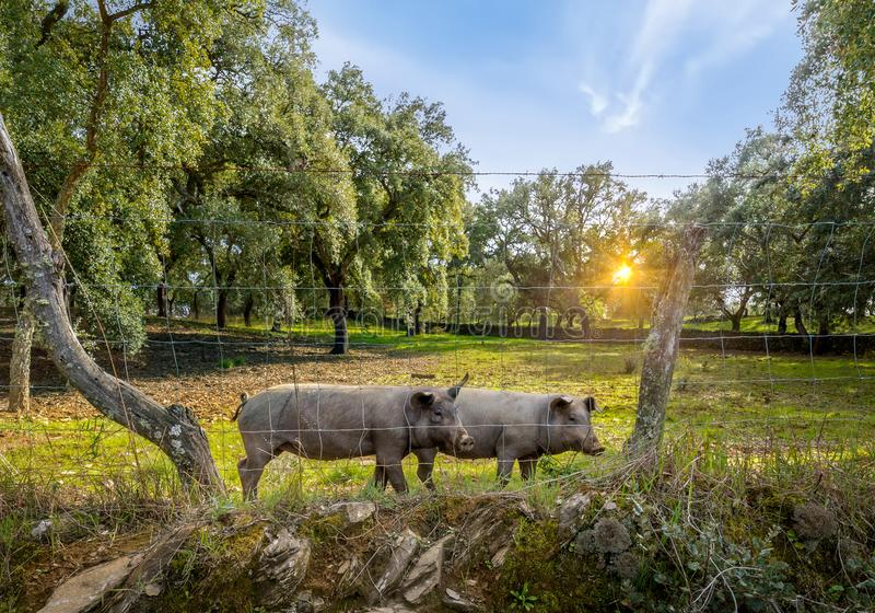 Iberian pigs in a green meadow at spring royalty free stock image