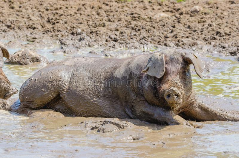 Iberian pigs herd pata negra laying in the mud in Extremadura, stock photography
