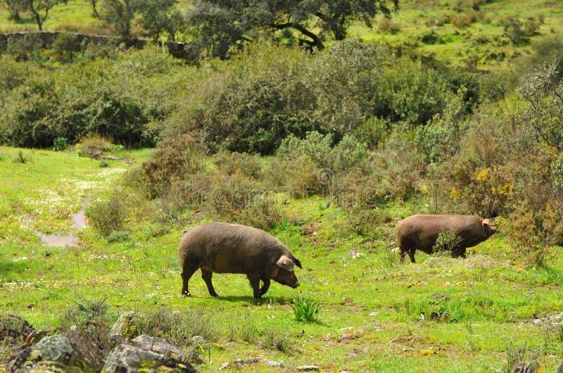 Iberian svin i ängen, Spanien royaltyfri foto