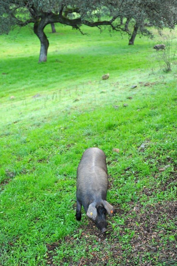 Iberian svin i lantgården, Spanien royaltyfri bild