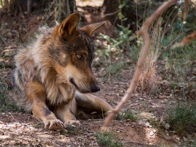 Iberian varg som ner ligger i skogen royaltyfria bilder