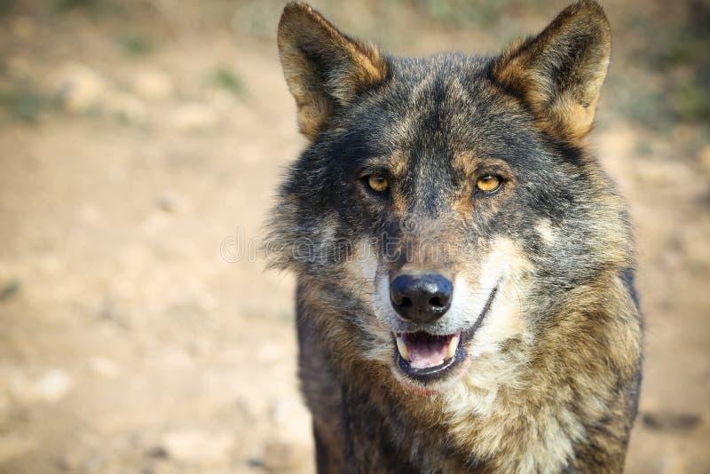 iberian wolf fotografering för bildbyråer