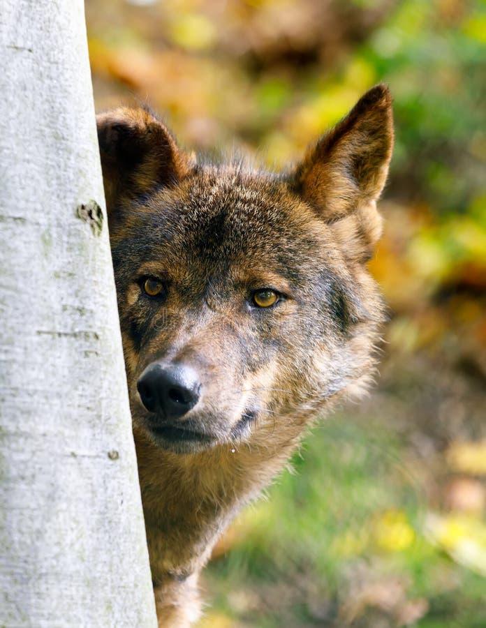 Iberian wolf Canis lupus signatus stock image