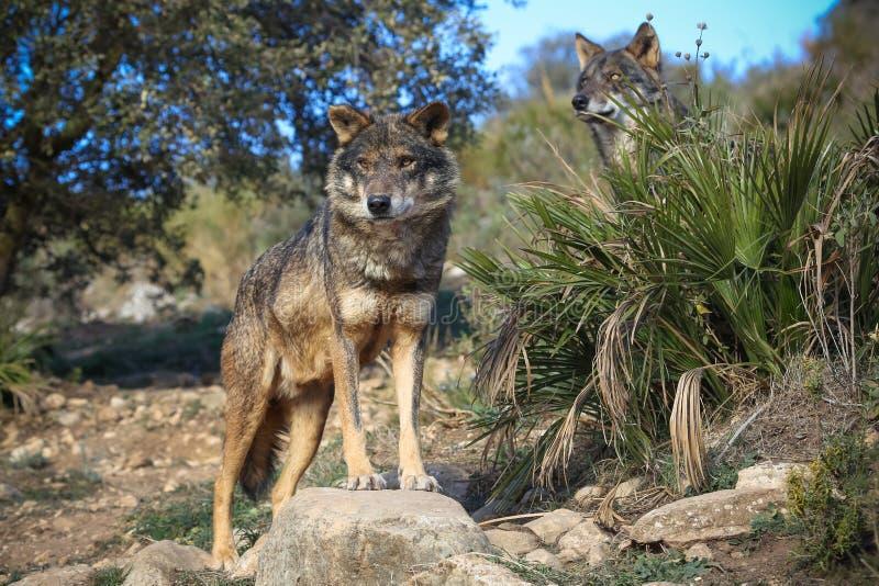 Iberian wolf Pride. (Canus lupus signatus royalty free stock photo