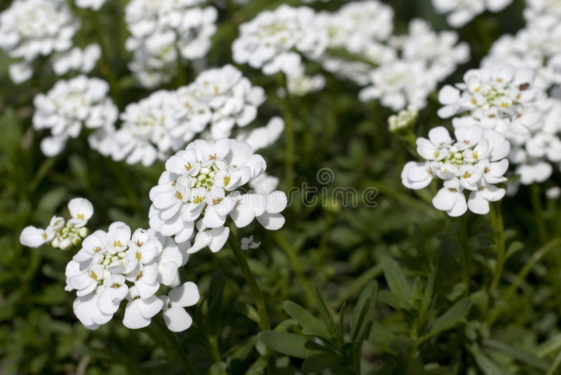 Iberis. In the garden at home stock photography