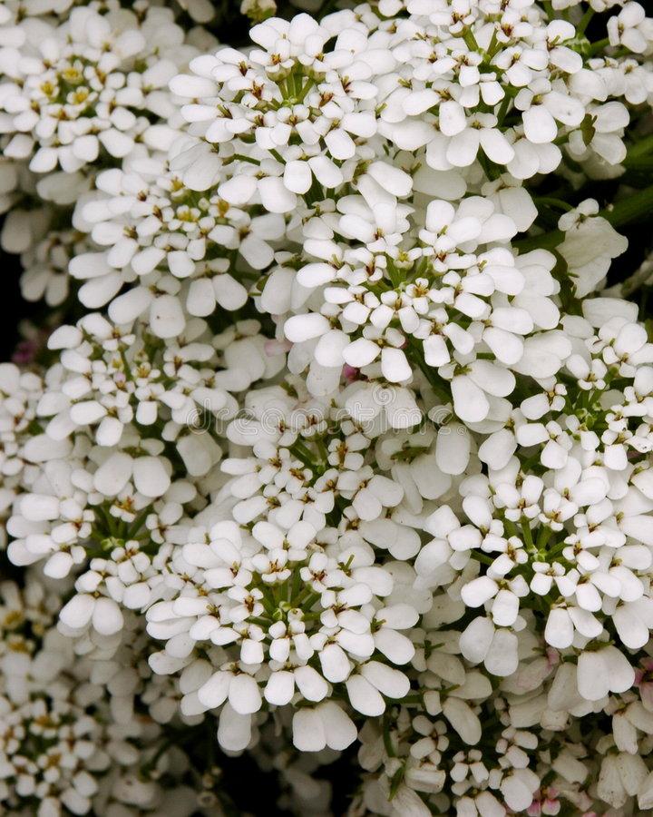 Download Perennial Candytuft Stock Photos - Image: 240233