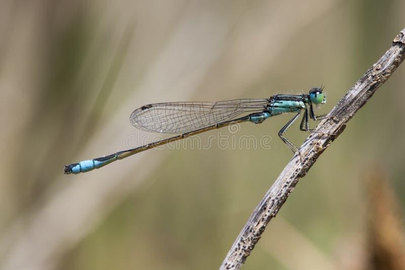Iberisch-lantaarntje, Iberer Bluetail, Ischnura-graellsii stockbilder