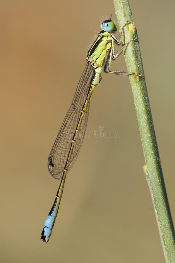 Iberisch-lantaarntje, Iberer Bluetail, Ischnura-graellsii lizenzfreies stockfoto
