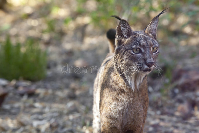 Iberisch lynxportret stock foto's