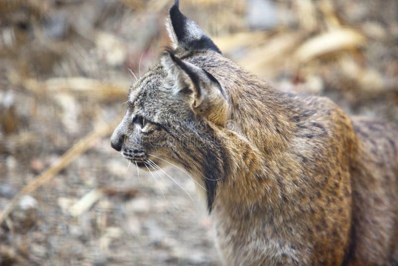 Iberisch lynxprofiel stock foto's