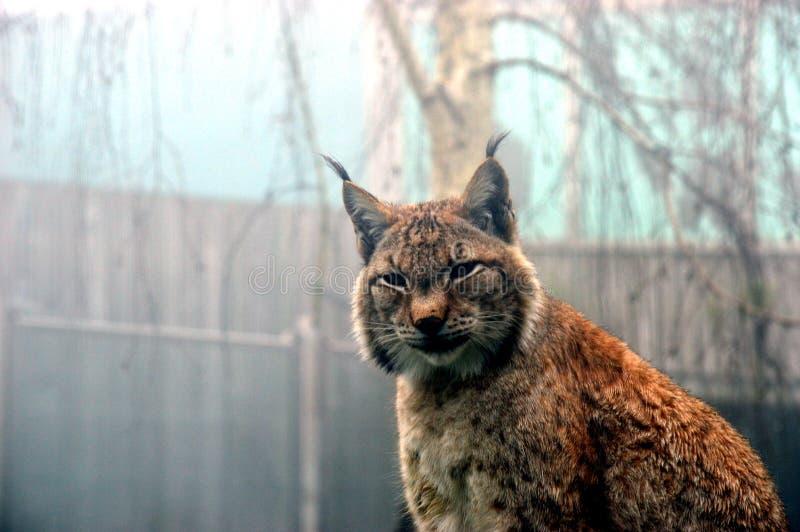 Iberische Lynx royalty-vrije stock fotografie