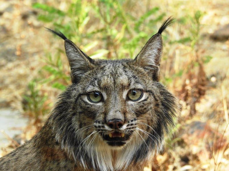 Iberische Lynx stock afbeelding