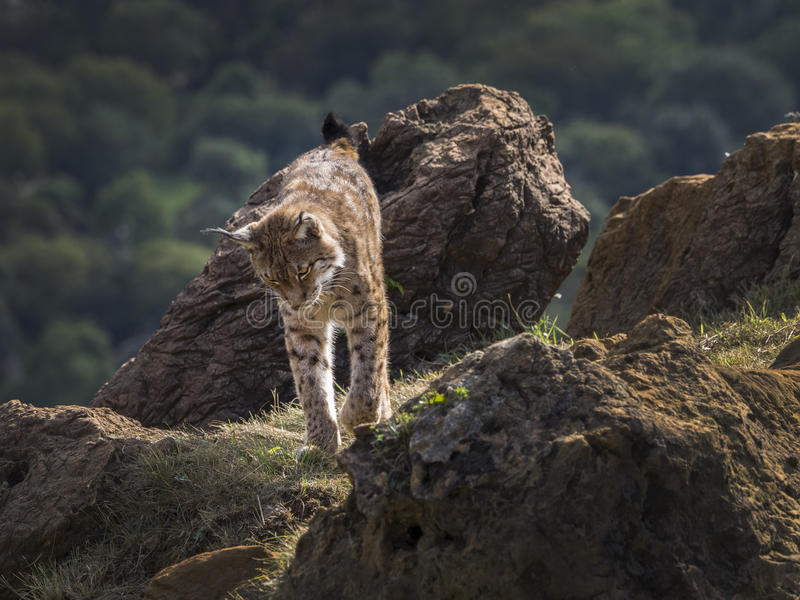 Iberische Lynx stock foto's