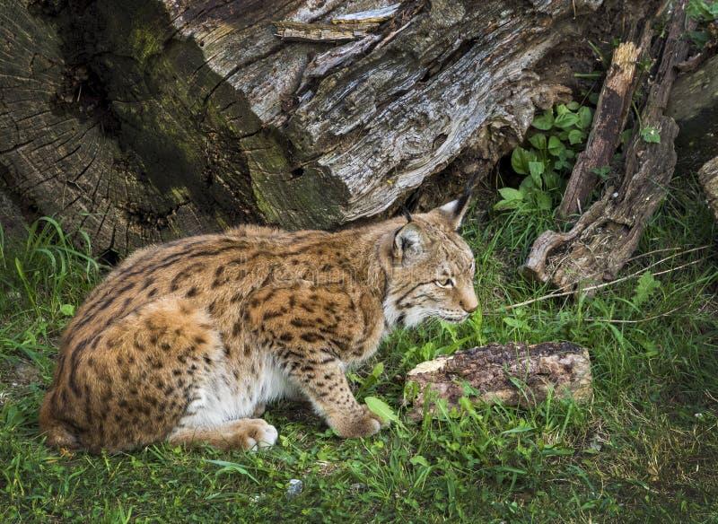 Iberische Lynx royalty-vrije stock afbeeldingen