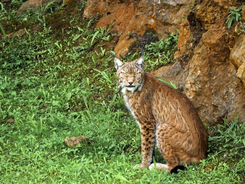 Iberische Lynx stock foto