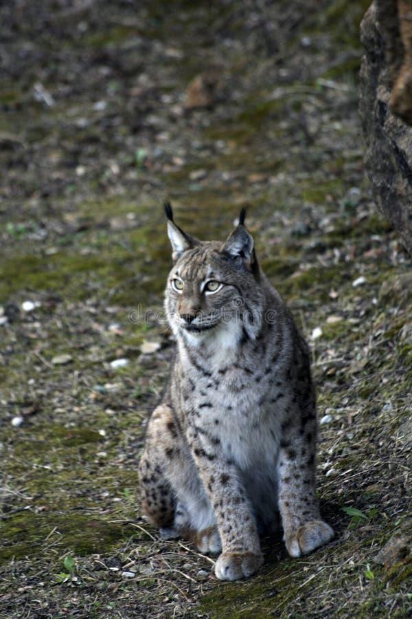 Iberische lynx dichte omhooggaand stock foto's
