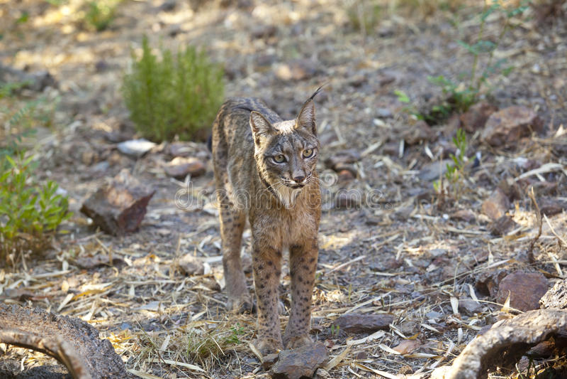 Iberische lynx die dichter worden royalty-vrije stock foto's