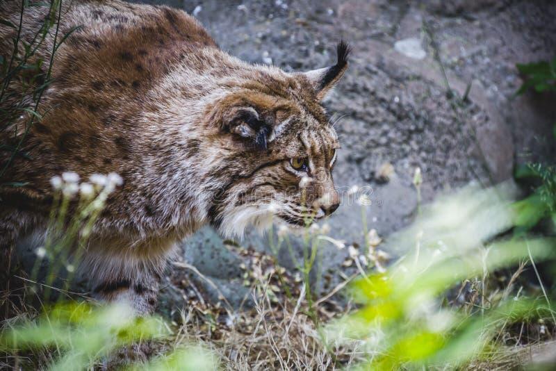 Iberische lynx die een vogel achtervolgen royalty-vrije stock foto's