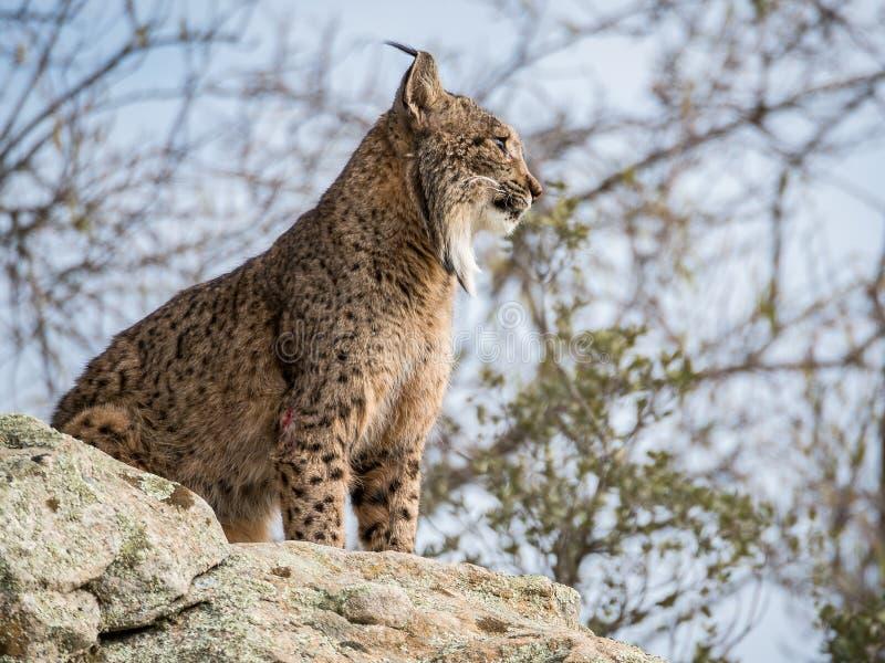 Iberische lynx die (Lynxpardinus) zich op een rots bevinden royalty-vrije stock afbeelding