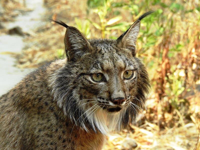 Iberische Lynx, Lince Iberico royalty-vrije stock foto's