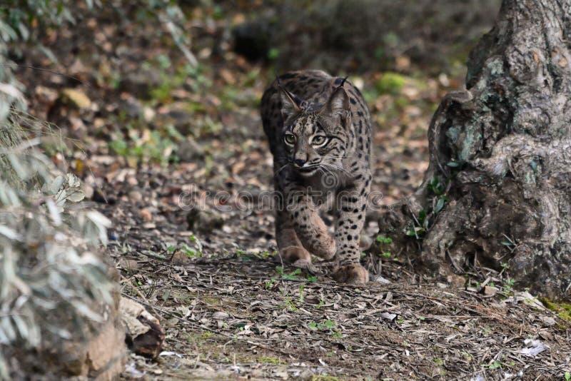 Iberische Lynx - Lynxpardinus - in Sierra Morena, Spanje royalty-vrije stock afbeeldingen