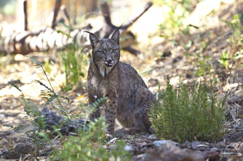 Iberische lynx met uit tonge royalty-vrije stock foto's