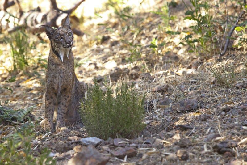 Iberische lynx op alarm stock foto