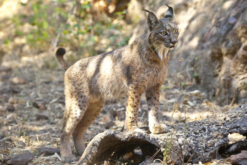 Iberische lynx op waakzame positie royalty-vrije stock fotografie