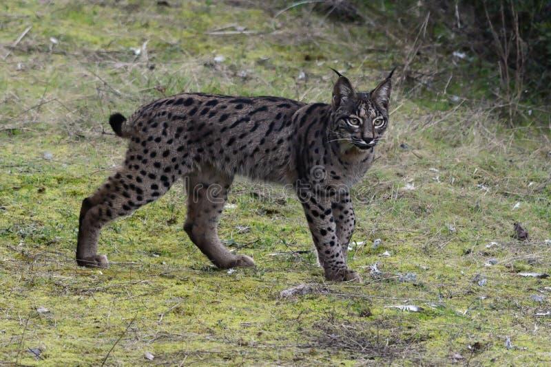 Iberische Lynx & x28; Lynx pardinus& x29; in Sierra Morena & x28; Spain& x29; stock afbeeldingen