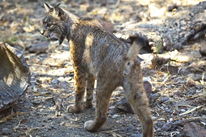 Iberische lynx van rug royalty-vrije stock afbeeldingen