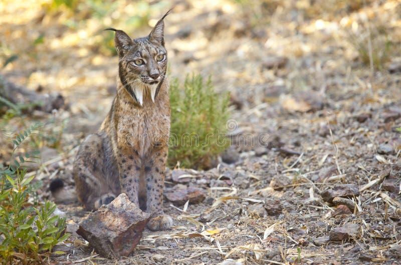 Iberische lynxzitting op alarm royalty-vrije stock foto's