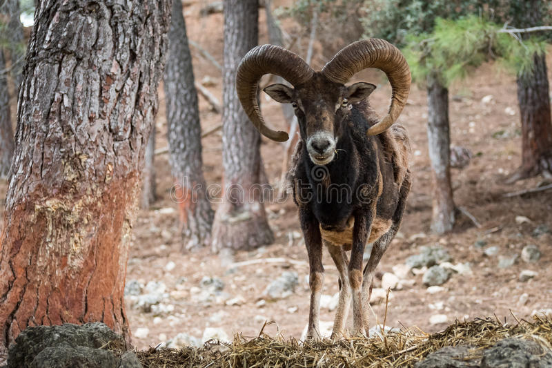 Iberische orientalis van mouflonovis musimon royalty-vrije stock fotografie
