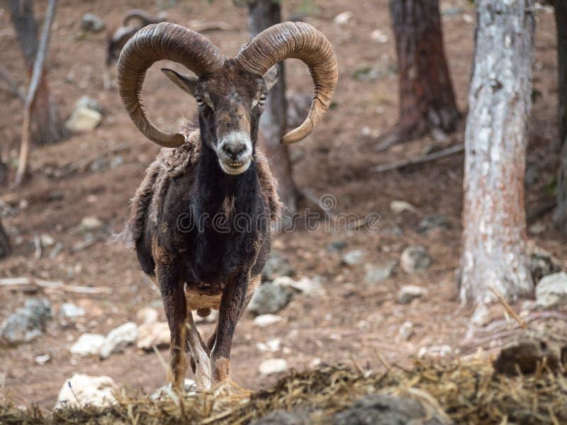 Iberische orientalis van mouflonovis musimon royalty-vrije stock foto