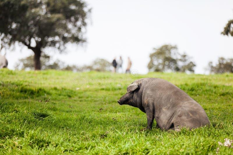 Iberische varkenszitting in een groene weide stock afbeelding