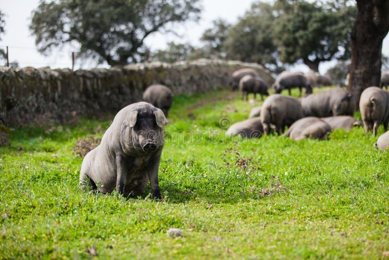 Iberische varkenszitting in een groene weide stock fotografie