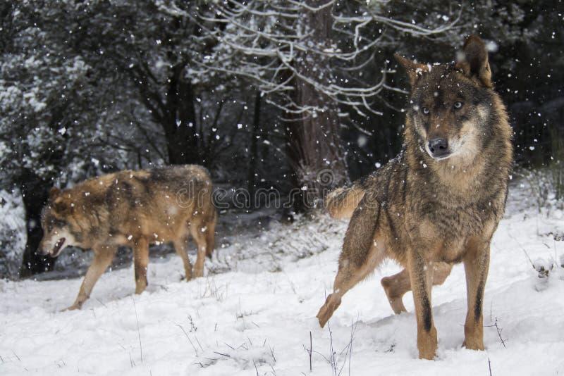 Iberische Wölfe im Schnee lizenzfreie stockfotos