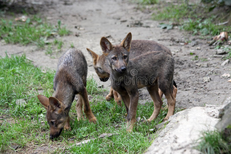 Iberische Wolfwelpen lizenzfreies stockfoto