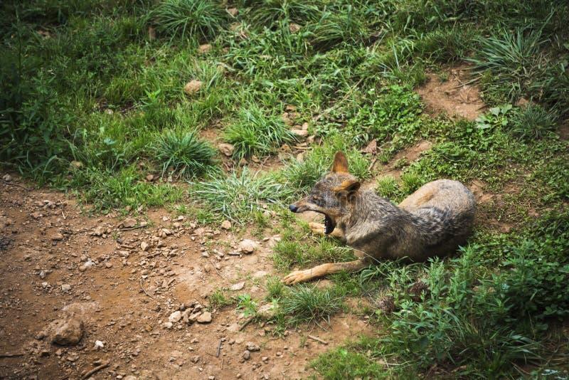 Iberischer gähnender Wolf lizenzfreie stockbilder