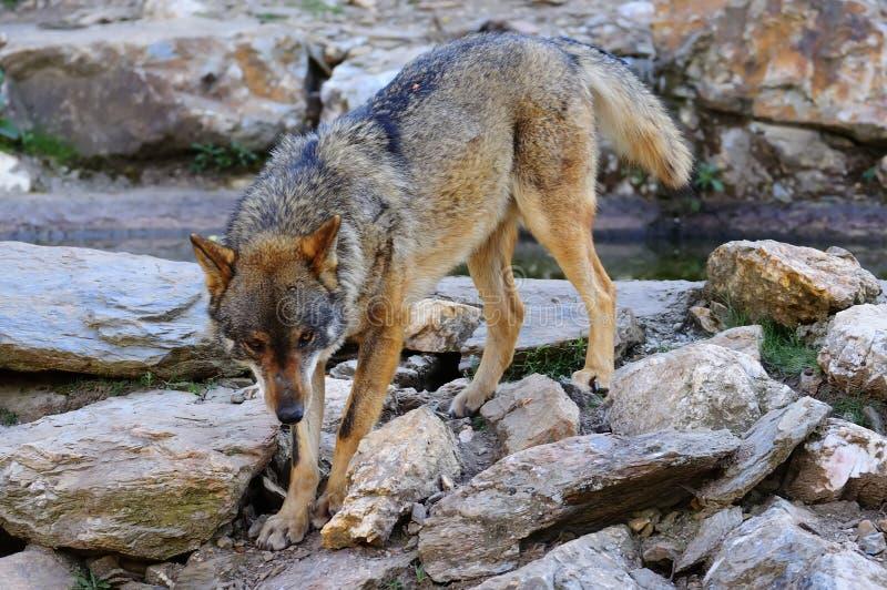 Iberischer Wolf stockfotografie