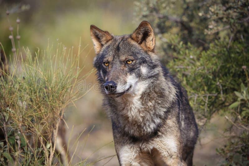 Iberischer Wolf stockfotos