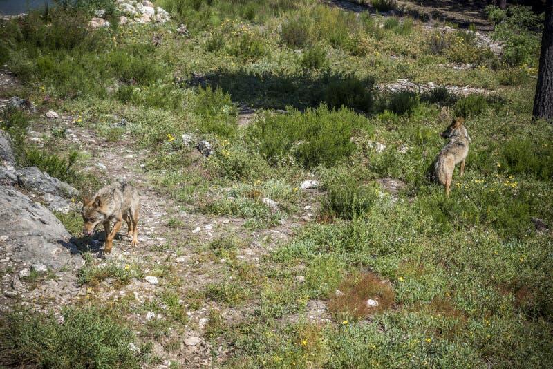 Iberischer Wolf Canis Lupus signatus stockbilder