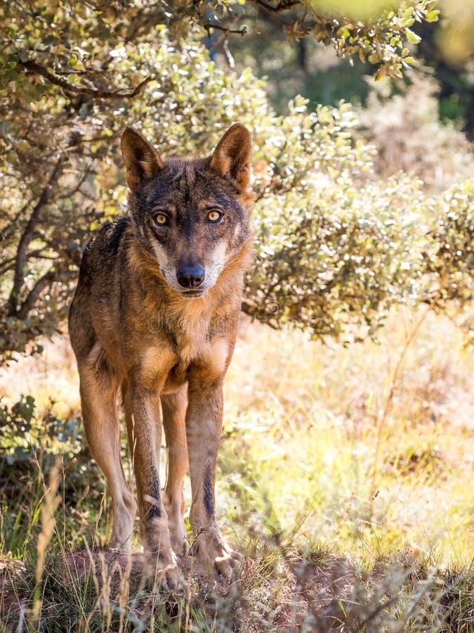 Iberischer Wolf mit schönen Augen im Herbst lizenzfreies stockfoto