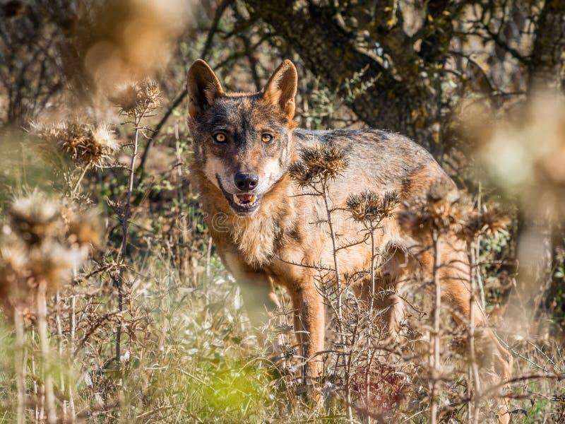 Iberischer Wolf mit schönen Augen im Sommer stockfotos