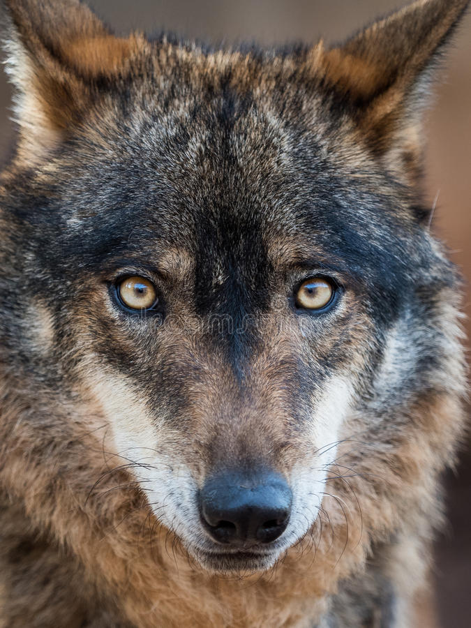 Iberisches Wolfporträt Canis Lupus signatus stockfotos