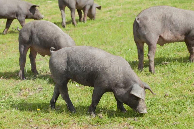 Iberyjskie świnie w Extremadura fotografia stock