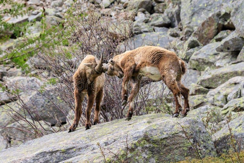 Ibex в национальном парке Gran Paradiso стоковые изображения