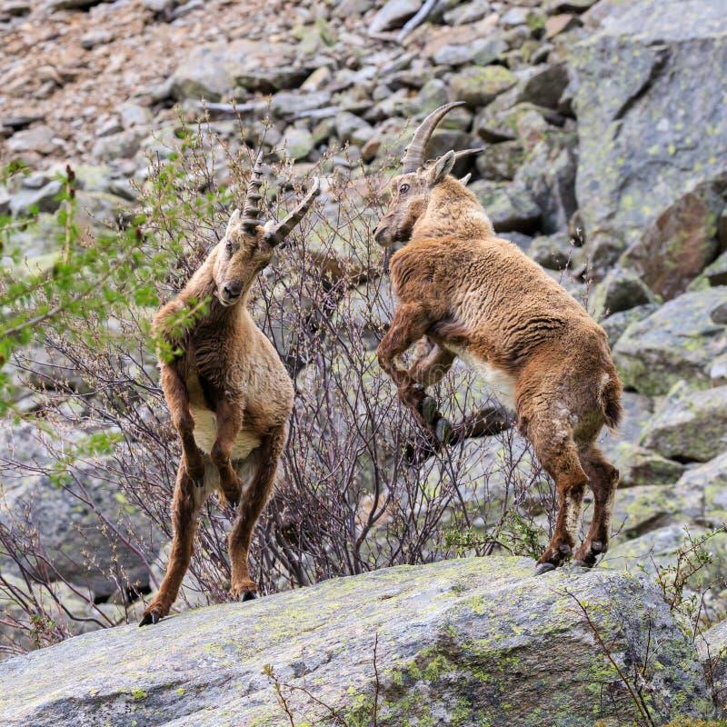Ibex в национальном парке Gran Paradiso стоковое изображение rf