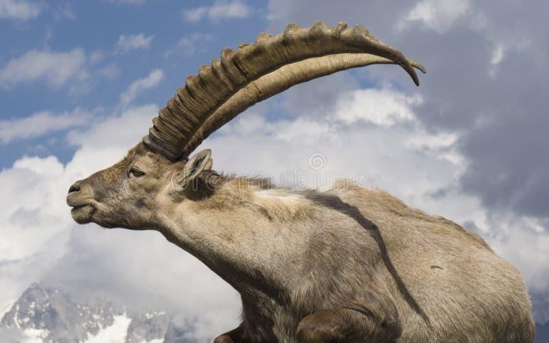 Ibex против неба alpines Франция стоковая фотография rf