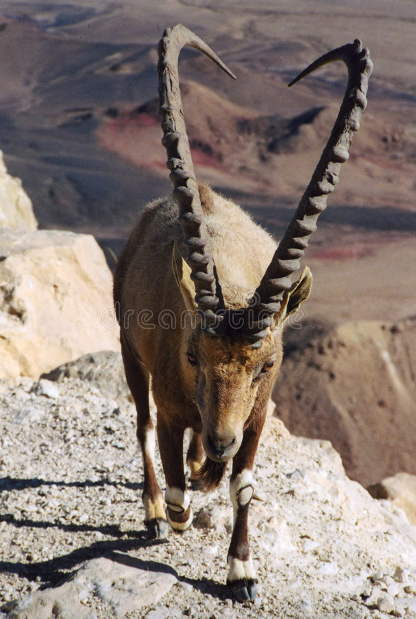 Download Ibex stock photo. Image of negev, ramon, ibex, desert, animal - 137380