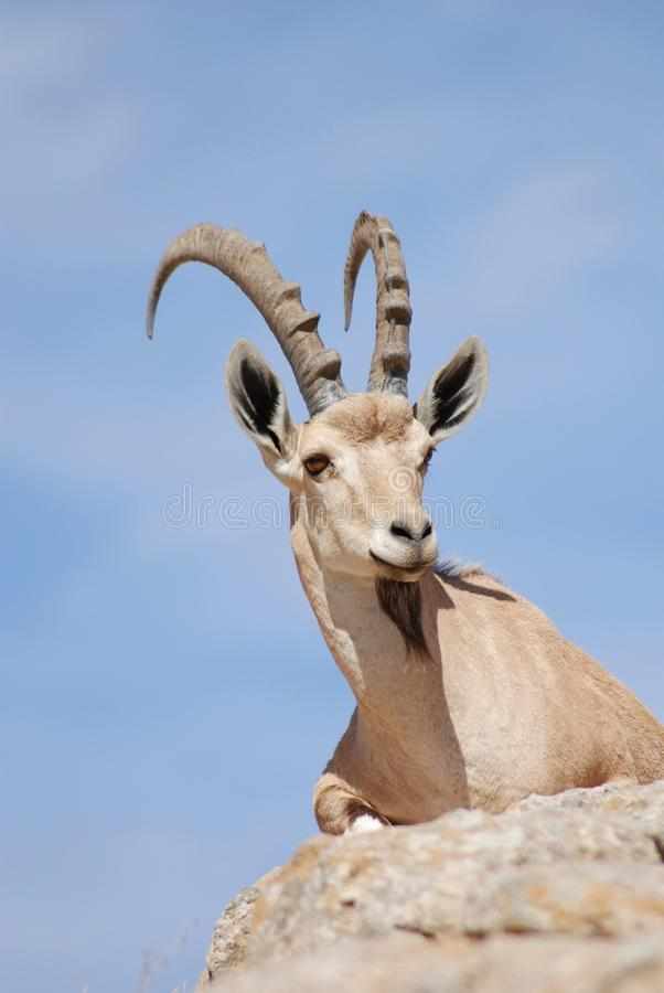 Ibex stock photography
